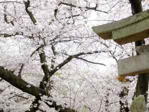 聖圓寺の鳥居と桜
