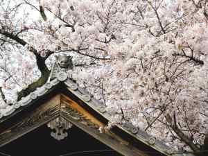 聖圓寺の桜